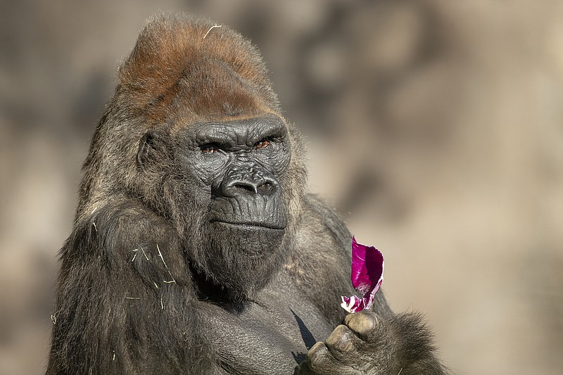 A gorilla at the San Diego Zoo is shown in this undated photo.