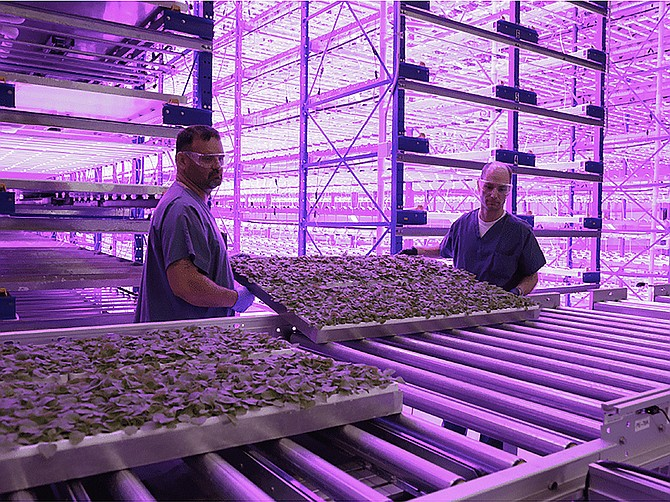Photo Courtesy of iBio Plants are being transferred from the fully automated vertical farming system to be processed for therapeutic protein extraction.
